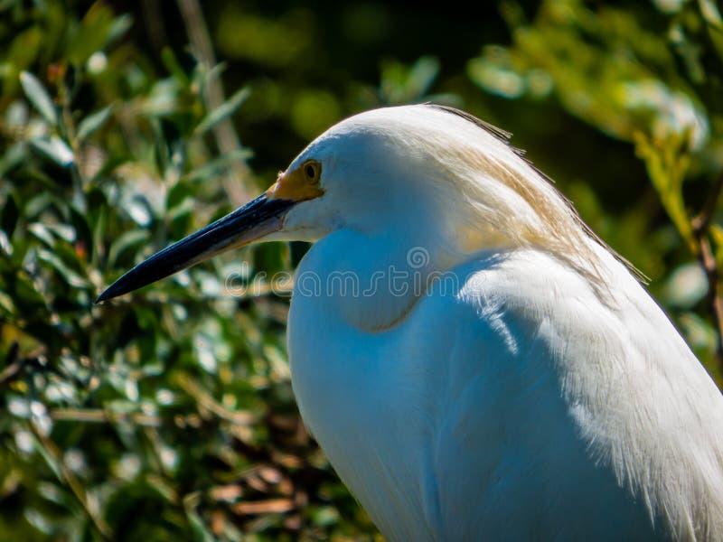 Un pájaro blanco hermoso de la garceta en la Florida cerca de St Augustine imágenes de archivo libres de regalías