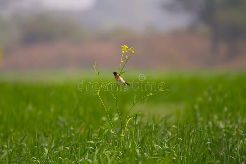 Un pájaro colorido en la planta de la mostaza en un campo de trigo foto de archivo