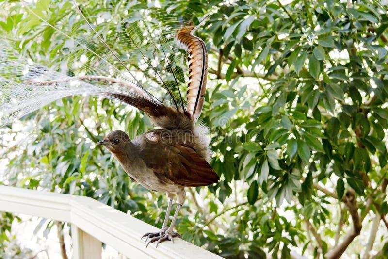 Un pájaro de la lira fotos de archivo libres de regalías