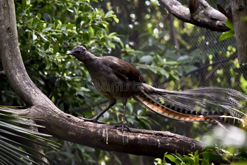 Un pájaro de la lira en una rama imagenes de archivo