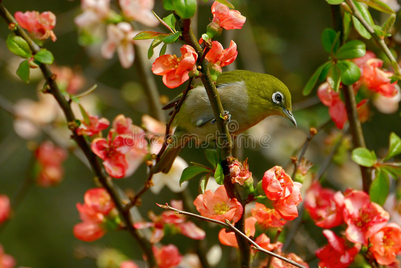 Un pájaro del Blanco-ojo fotografía de archivo libre de regalías