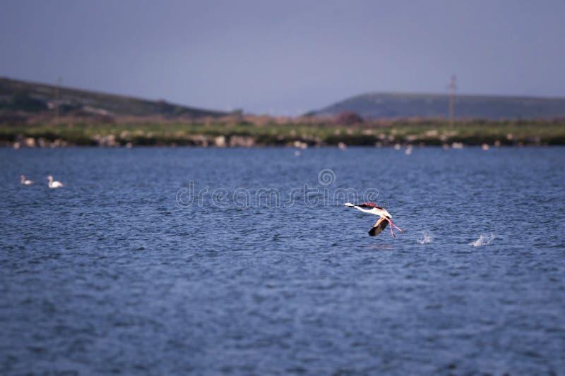 Un pájaro del flamenco que corre sobre el mar imagen de archivo
