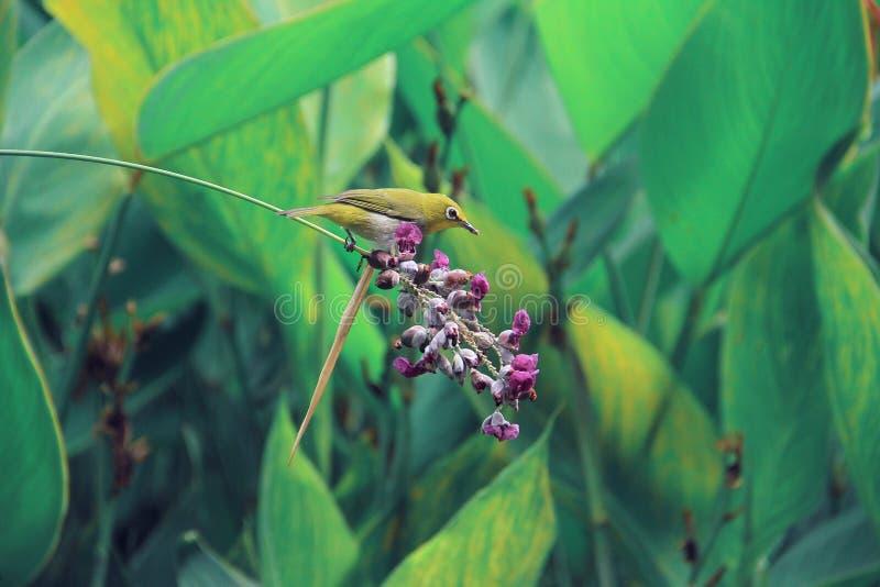 Un pájaro del whiteeye en una flor púrpura foto de archivo libre de regalías