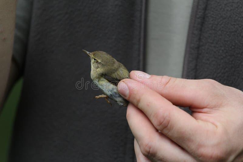 Un pájaro durante el examen en las manos de un biólogo fotografía de archivo