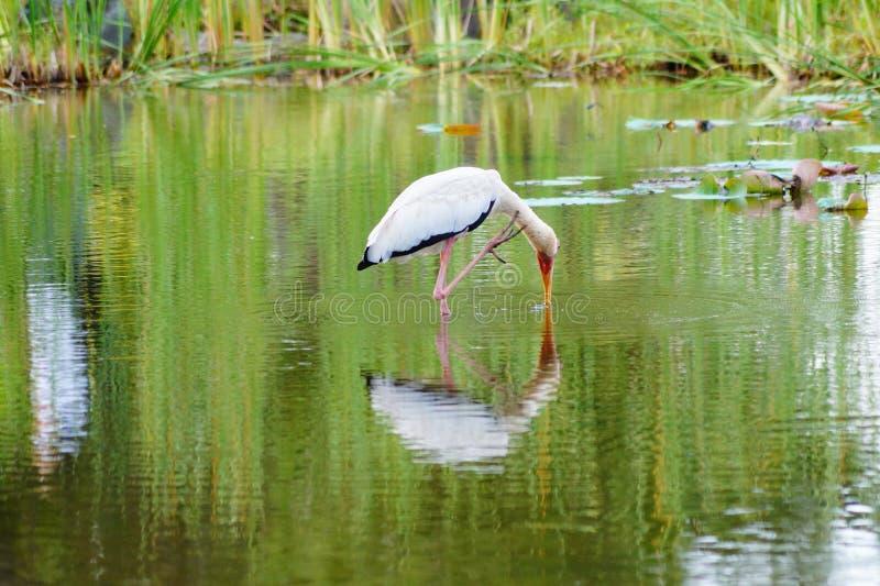 Un pájaro en el lago que busca un pescado para comer imágenes de archivo libres de regalías