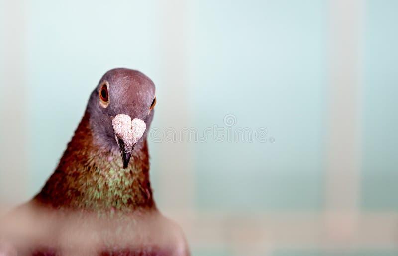 Un pájaro enjaulado en la competencia de las aves de corral en una demostración agrícola foto de archivo libre de regalías