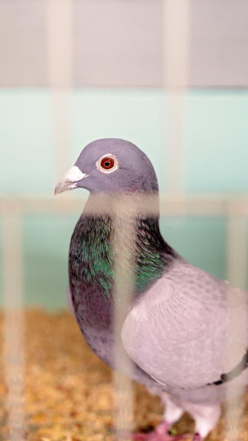 Un pájaro enjaulado en la competencia de las aves de corral en una demostración agrícola foto de archivo