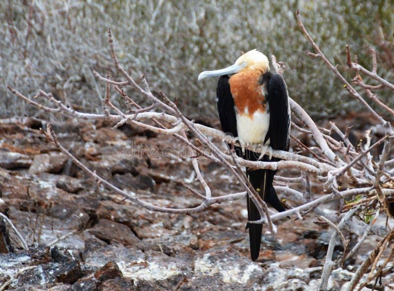 Un pájaro fragata juvenil en una rama imagen de archivo libre de regalías