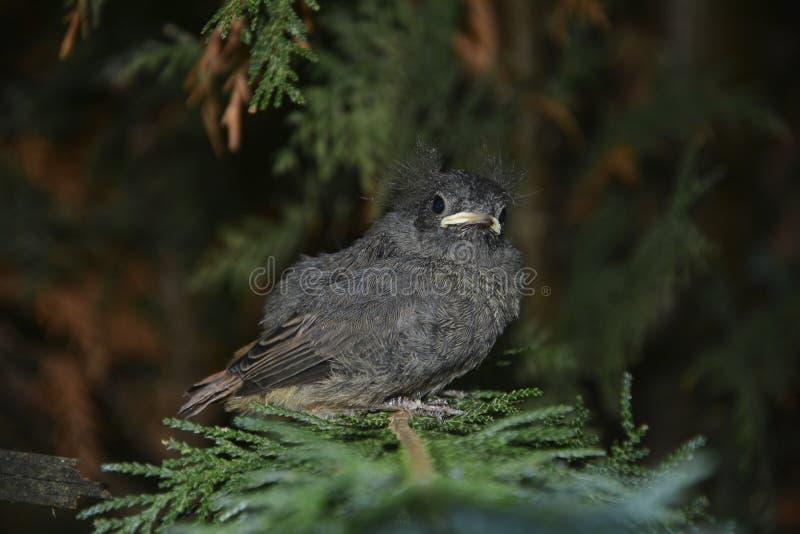 Un pájaro joven negro de Redstart se sienta en rama en un seto imagen de archivo