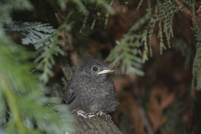Un pájaro joven negro de Redstart se sienta en rama en un seto foto de archivo