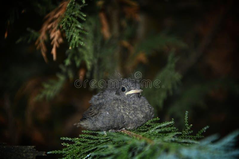 Un pájaro joven negro lindo de Redstart se sienta en rama en un seto fotografía de archivo
