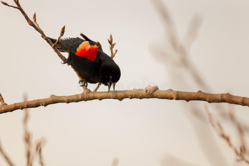 Un pájaro negro de alas rojas masculino se encaramó en una rama fotos de archivo