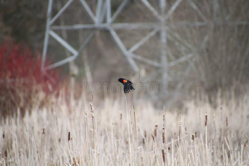 Un pájaro negro de alas rojas que se encarama en espadañas imágenes de archivo libres de regalías