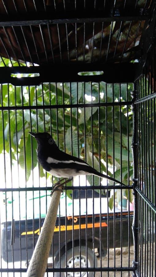 Un pájaro negro de Kalimantan en una jaula de hierro foto de archivo libre de regalías