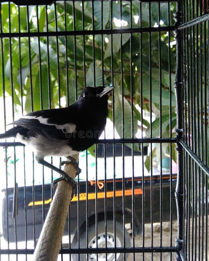 Un pájaro negro de Kalimantan en una jaula de hierro imagen de archivo libre de regalías