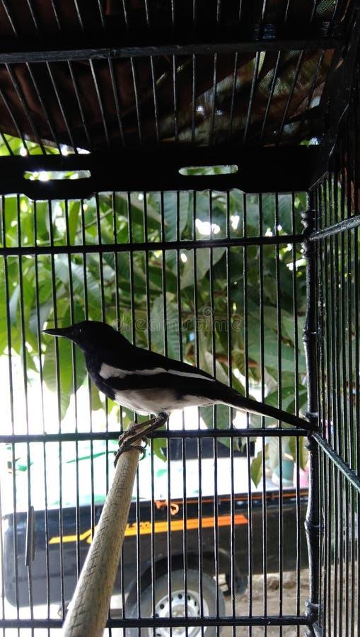 Un pájaro negro de Kalimantan en una jaula de hierro fotos de archivo