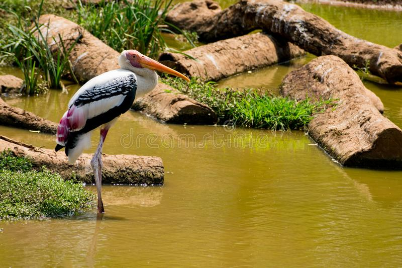Un pájaro pintado blanco de las cigüeñas que camina en la opinión del cierre del parque zoológico que parece impresionante imágenes de archivo libres de regalías