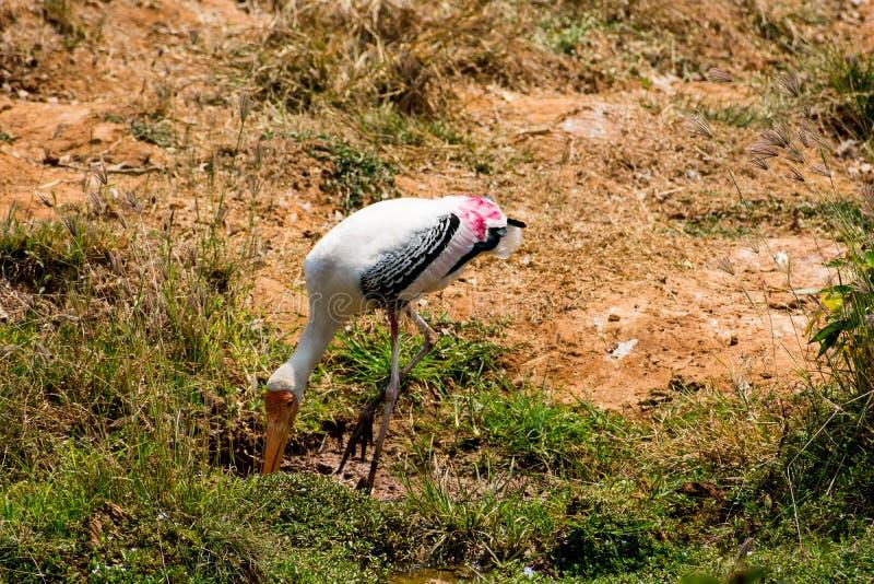Un pájaro pintado blanco de las cigüeñas que camina en la opinión del cierre del parque zoológico que parece impresionante imagen de archivo