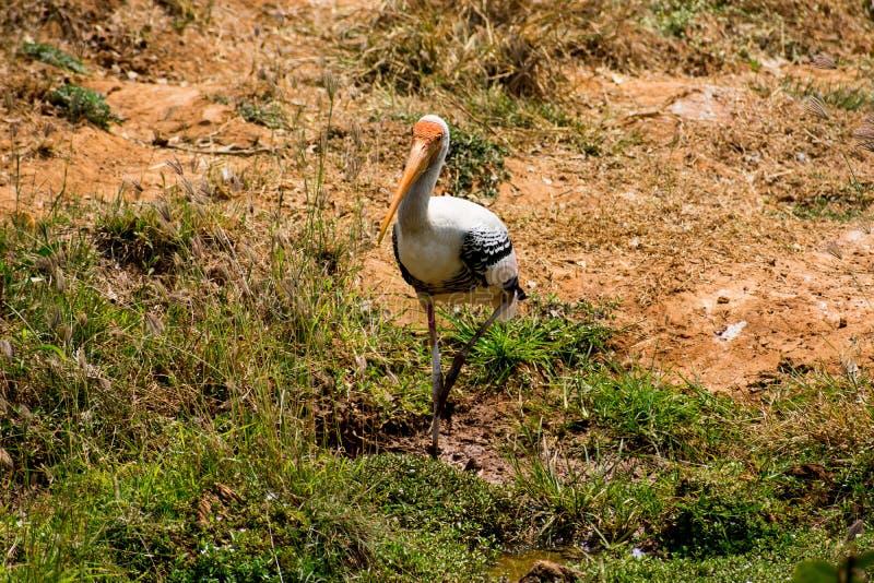 Un pájaro pintado blanco de las cigüeñas que camina en la opinión del cierre del parque zoológico que parece impresionante fotografía de archivo
