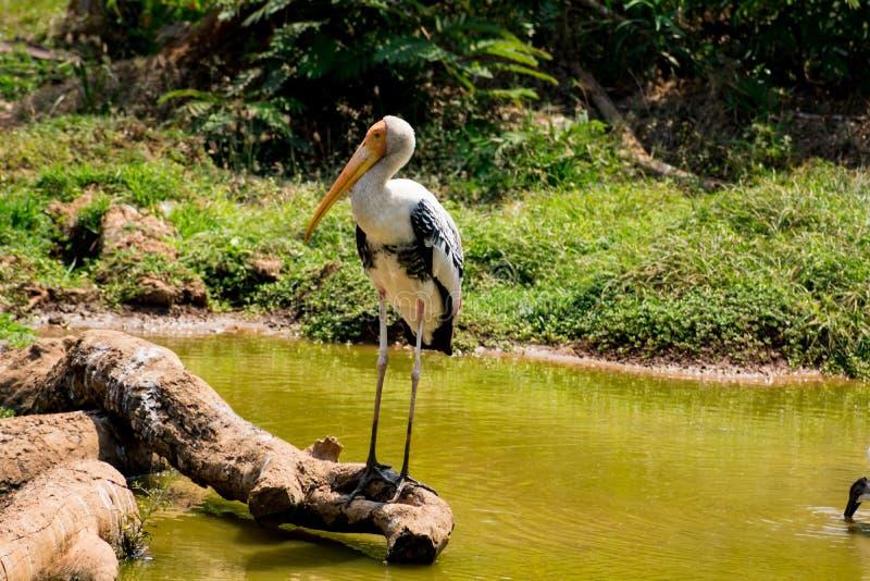Un pájaro pintado blanco de las cigüeñas que camina en la opinión del cierre del parque zoológico que parece impresionante fotos de archivo