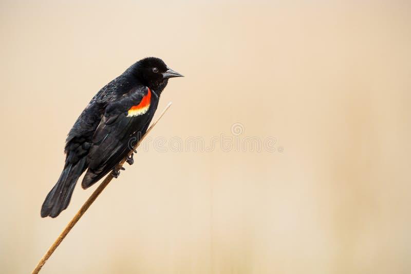 Un pájaro trasero de alas rojas masculino en plumaje de la cría en una caña imagen de archivo