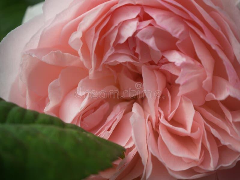 Un pâle - le rose a monté fin et personnel images stock