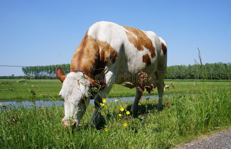 Un pâturage néerlandais de vache images stock