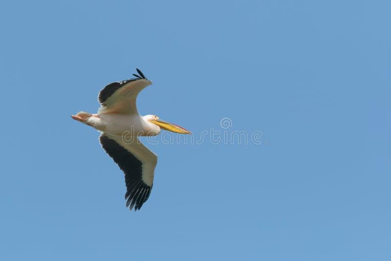 Un pélican blanc adulte, blanc, grand en vol contre le ciel bleu clair photo stock