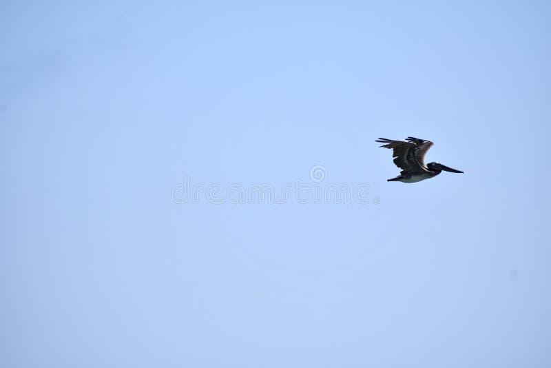 Un pélican brun en vol contre un ciel bleu images libres de droits