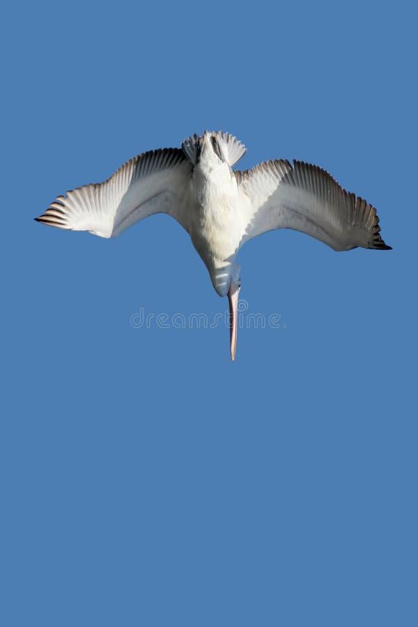 Un pélican dalmatien de plongée image stock
