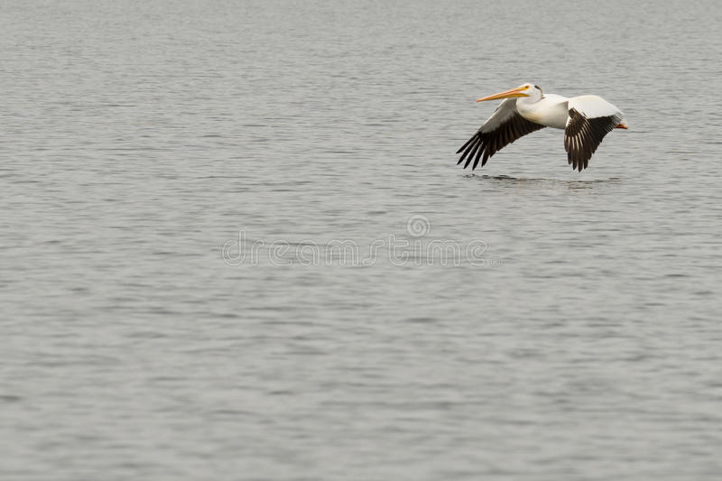 Un pélican volant au-dessus de l'eau photo libre de droits
