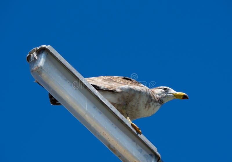 Un pacificus pacífico joven del Larus de la gaviota que se encarama en una lámpara de calle solamente con el fondo del cielo azul imágenes de archivo libres de regalías