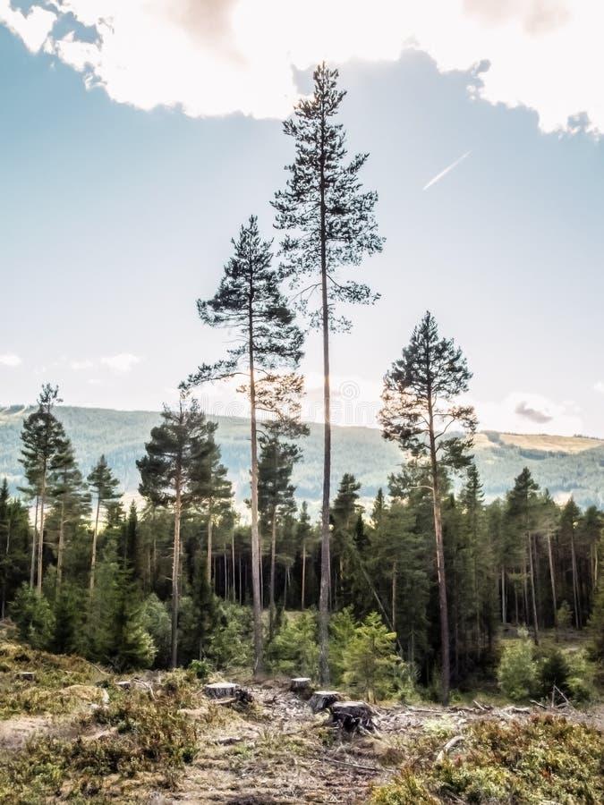 Un paesaggio rurale del paesaggio di una foresta di conifere calma con gli abeti alti e del ceppo di albero cutted sulla vegetazi royalty illustrazione gratis