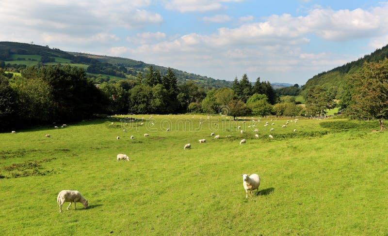 Un paesaggio rurale di Lingua gallese con il pascolo delle pecore fotografia stock libera da diritti