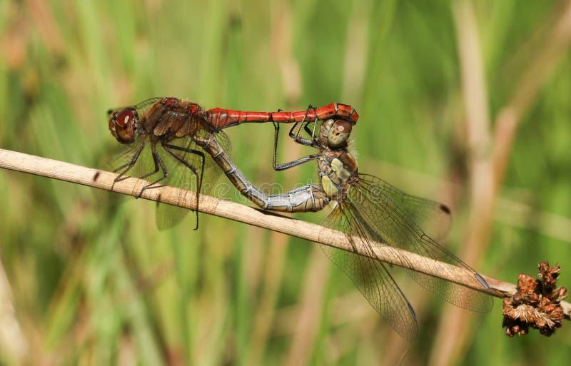 Un paio accoppiamento dello striolatum comune di Sympetrum della libellula del Darter si è appollaiato su una canna fotografia stock