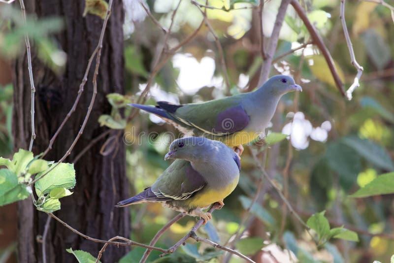 Un paio del ` s di Bruce si inverdisce il waalia di Treron del piccione in un albero fotografia stock libera da diritti