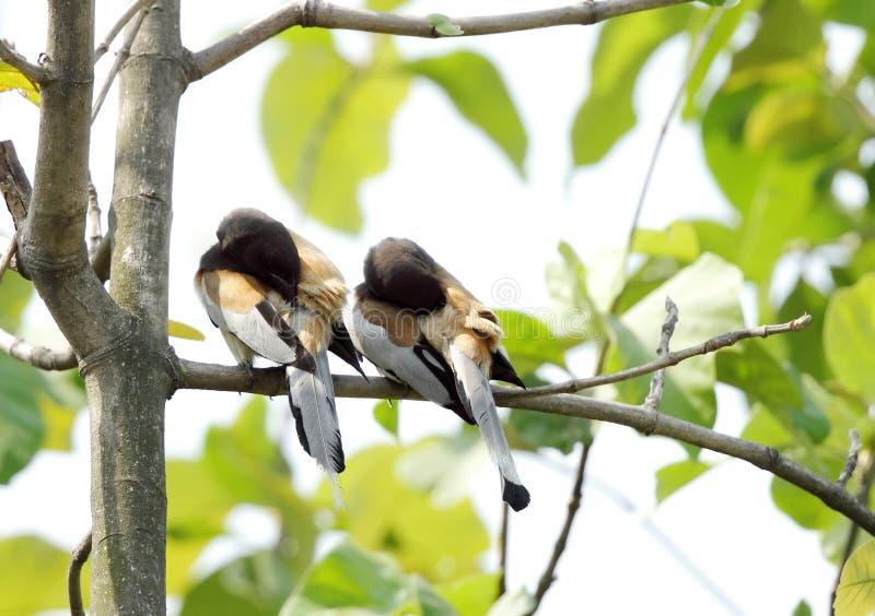 Un paio di Treepie Rufous che incide allo stesso tempo fotografie stock libere da diritti