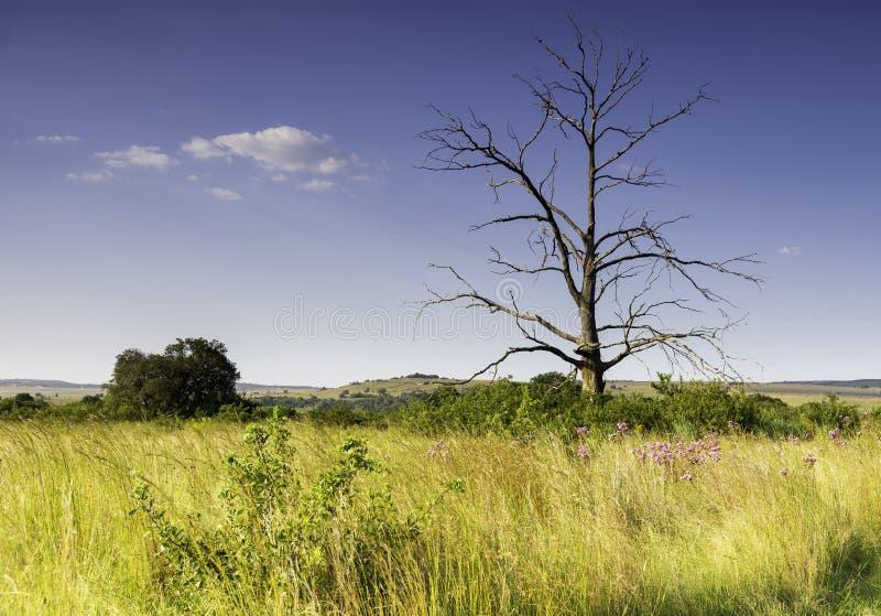 Un paisaje de árboles solitarios, Reserva Natural Rietvlei, Sudáfrica imágenes de archivo libres de regalías
