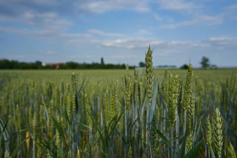 Un paisaje de un campo de trigo y de un cielo azul hermoso con las nubes fotografía de archivo