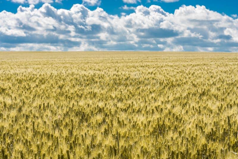 Un paisaje hermoso del verano del campo de trigo de oro madurado listo para la cosecha con el cielo y las nubes dramáticos fotos de archivo