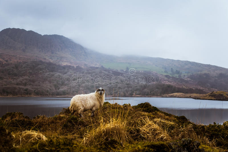 Un paisaje irlandés hermoso de la montaña en primavera con las ovejas imagenes de archivo