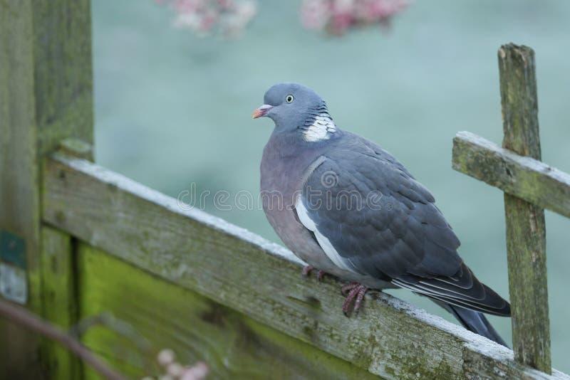 Un palumbus di Woodpidgeon Columba che si siede su un pannello del recinto su una mattina gelida fredda fotografia stock