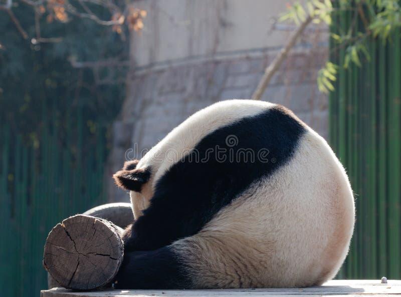 Un panda de sommeil est si mignon image libre de droits