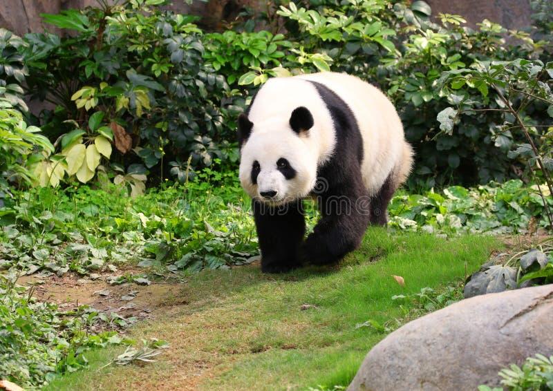 Un panda géant marchant autour, Chengdu, Chine images stock
