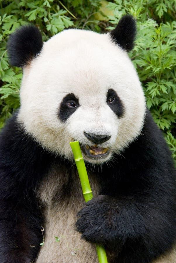 Un panda gigante fotografia stock