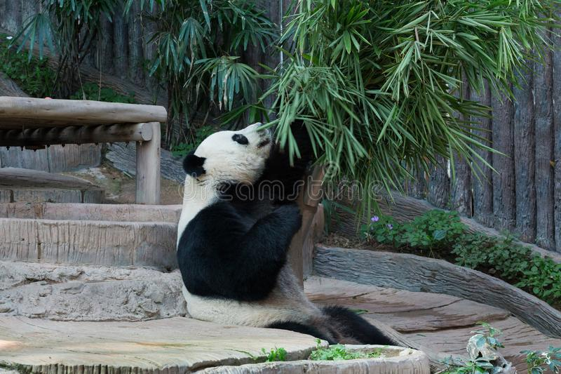 Un panda mangeant des feuilles de bambou photographie stock libre de droits