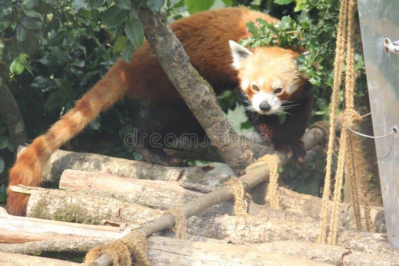 Un panda rouge images libres de droits