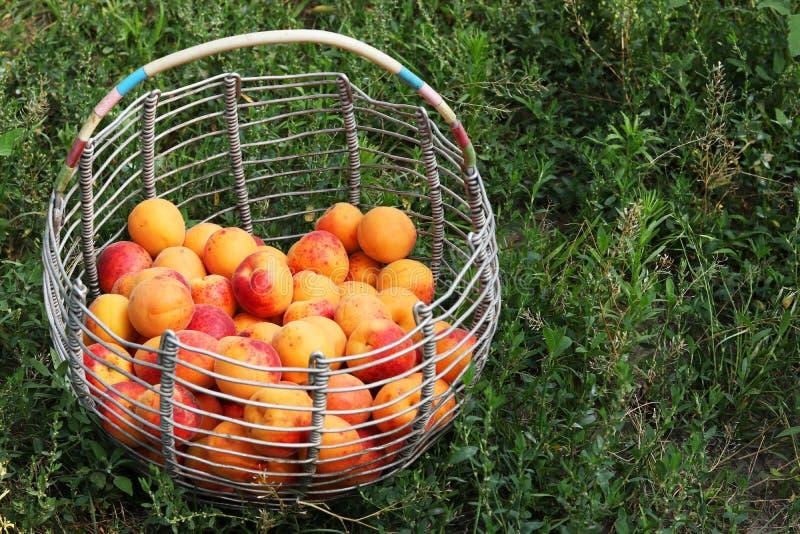 Un panier avec des abricots est situé sur le fond de l'herbe dans le jardin photographie stock libre de droits