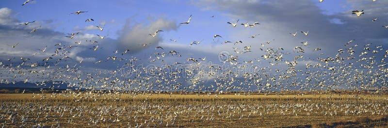 Un panorámico de millares de gansos de nieve de la migración y de Sandhill cranes tomar vuelo sobre la fauna de Bosque del Apache foto de archivo libre de regalías