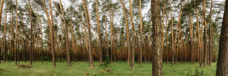 Un panorama di un'abetaia di estate con erba succosa verde fotografia stock